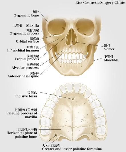 頬骨(Zygomatic bone)/上顎骨(Maxilla)/頬骨突起(Zygomatic process)/眼窩面(Orbital surface)/眼窩下孔(Infraorbital foramen)/前頭突起(Frontal process)/歯槽突起(Alveolar process)/前鼻棘(Anterior nasal spine)/鍋骨(Vomer)/下顎骨(Mandible)/切歯孔(Incisive fossa)/上顎骨口蓋突起(Palatine process of maxilla)/口蓋骨水平板(Horizontal plate of palatine bone)/大・小口蓋孔(Greater and lesser palatine foramina)